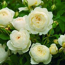 ROSA 'Claire Austin' (=Ausprior) (own root), David Austin English Rose