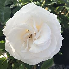 ROSA 'Easy Spirit' (=WEKmereadoit), Rosa Easy-to-Love Series, Floribunda