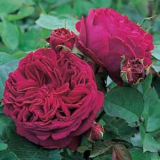 ROSA 'Falstaff' (=Ausverse), David Austin English Rose