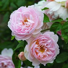 ROSA 'Gentle Hermione' (=Ausrumba) (own root), David Austin English Rose