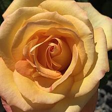 ROSA 'Gold Medal', Grandiflora (Hybrid Tea x Floribunda)