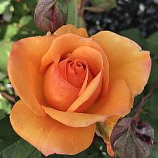 ROSA 'Good As Gold', Hybrid Tea