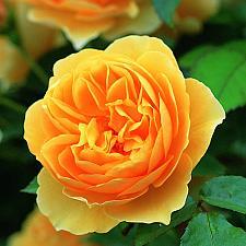 ROSA 'Graham Thomas' (=Ausmas), David Austin English Rose