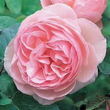ROSA 'Heritage', David Austin English Rose