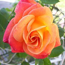 ROSA 'Joseph's Coat' (own root), Large Flowered Climber