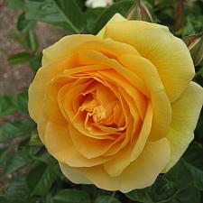 ROSA 'Julia Child' (own root), Floribunda