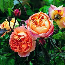ROSA 'Lady Emma Hamilton' (=Ausbrother), David Austin English Rose