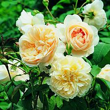 ROSA 'Liechfield Angel' (=Ausrelate) (own root), David Austin English Rose