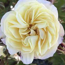 ROSA 'Life of the Party', Floribunda Rose