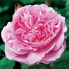 ROSA 'Mary Rose' (=Ausmary) (own root), David Austin English Rose