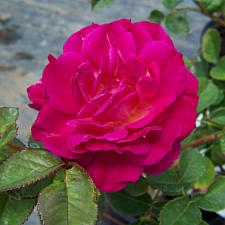 ROSA 'Outta the Blue' (own root), Shrub