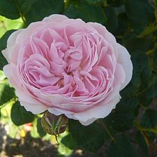 ROSA 'Queen of Sweden' (=Austiger) (own root), David Austin English Rose