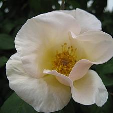 ROSA 'Sally Holmes' (own root), Hybrid Musk/Shrub Rose