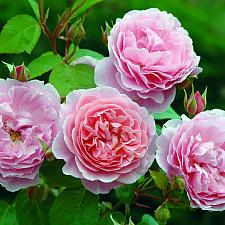 ROSA 'Strawberry Hill' (=Ausrimini), David Austin English Rose