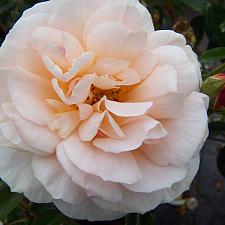 ROSA 'Tamora' (='Austamora), David Austin English Rose