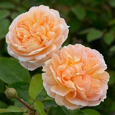 ROSA 'The Lady Gardener' (=Ausbrass) (own root), David Austin English Rose