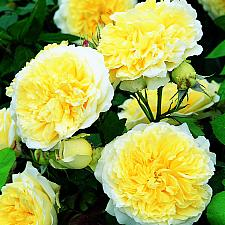 ROSA 'The Pilgrim' (own root) (=Auswalker) (own root), David Austin English Rose, Climber