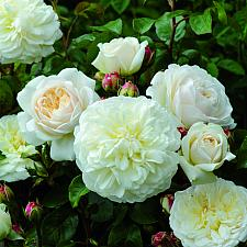 ROSA 'Tranquillity' (=Ausnoble), David Austin English Rose