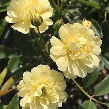 ROSA banksiae 'Lutea', Lady Bank's Rose