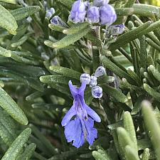 ROSMARINUS officinalis 'Blue Spires', Rosemary