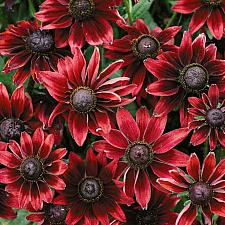 RUDBECKIA hirta 'Cherry Brandy', Coneflower, Black-eyed Susan, Gloriosa Daisy