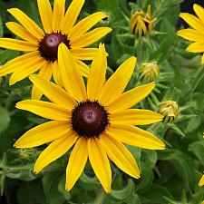RUDBECKIA hirta 'Indian Summer', Black-eyed Susan
