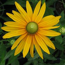 RUDBECKIA hirta 'Irish Eyes', Black-Eyed Susan