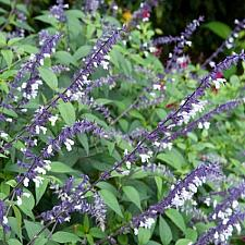 SALVIA 'Phyllis' Fancy',