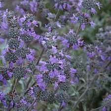 SALVIA leucophylla x clevelandii 'Pozo Blue',