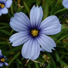 SISYRINCHIUM 'Devon Skies', Blue-Eyed Grass
