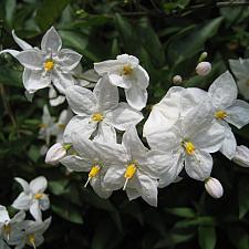 SOLANUM jasminoides, Potato Vine