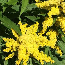 SOLIDAGO 'Little Lemon', Goldenrod