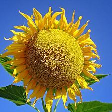 SUNFLOWER 'Mammoth', Organic Heirloom Sunflower