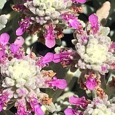 TEUCRIUM cussonii (syn. T. majoricum), Germander