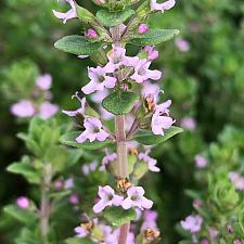 THYMUS vulgaris 'Dot Wells' (French Culinary), French Culinary Thyme