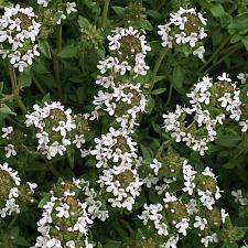 THYMUS vulgaris (English), English Thyme