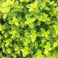 THYMUS x citriodorus 'Lime', Lime Thyme