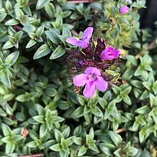 THYMUS herba-barona, Caraway Thyme