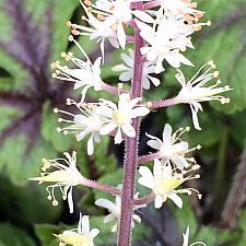 TIARELLA 'Jeepers Creepers', Foam Flower
