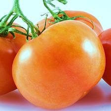 TOMATO 'Jaune Flamme', Oraganic Heirloom Tomato