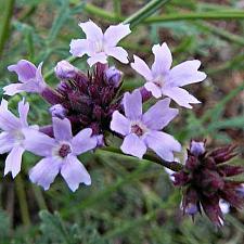 VERBENA lilacina 'De La Mina', Cedros Island Verbena