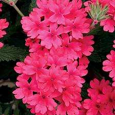 VERBENA hybrid Superbena 'Coral Red', Superbena Verbena