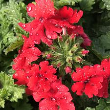 VERBENA hybrid Superbena 'Red', Superbena Verbena
