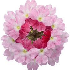 VERBENA hybrid Superbena 'Sparkling Rose', Superbena Verbena