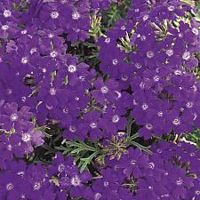 VERBENA hybrid 'Tapien Blue Violet', Tapien Verbena