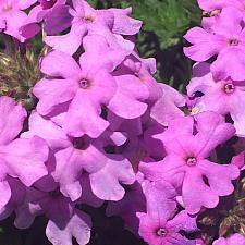 VERBENA hybrid 'Tapien Pink Improved', Tapien Verbena