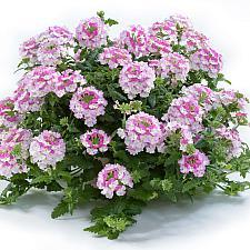 VERBENA x hortensis 'Vanessa Bicolor Pink', Vanessa Series Verbena