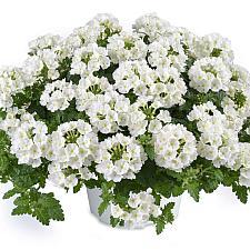 VERBENA x hortensis 'Vanessa White', Vanessa Series Verbena