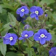 VERONICA peduncularis 'Georgia Blue', Speedwell