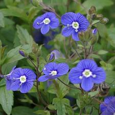 VERONICA peduncularis 'Georgia Blue', Speedwell